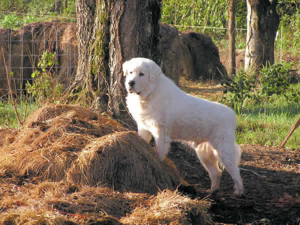Carter The Great Pyrenees