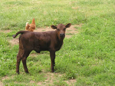 springtime dexters Calf